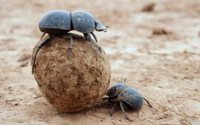 Dung Beetles at play.